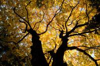 luminous oak trees in fall