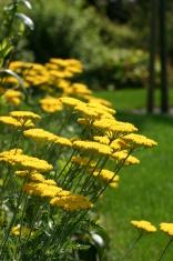 Yellow flowers in a Dutch garden