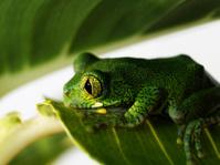 Big-eyed Tree Frog, Leptopelis vermiculatus