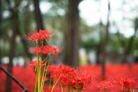 Spider Lily at Kinchakuda