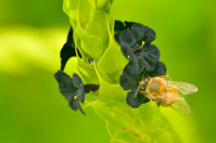 Bee On Black Wildflower In Colombia