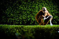 Gorilla with toilet paper in backyard