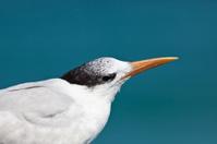 Caspian tern seabird