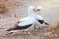 Galapagos: Two Masked Boobies Courting