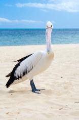 Pelican look at camera