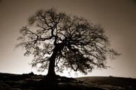 Big strong tree (Brazil)