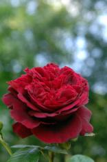 Rose Series #1