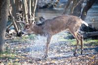 Buck Shaking Off Water