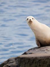Seal at La Jolla San Diego