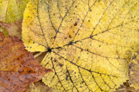 Yellow autumn leaf from lime