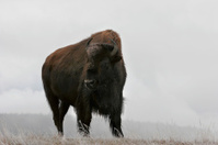Frosty Morning Buffalo