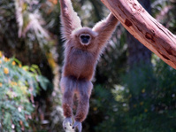 Ape Hanging