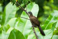 Tobago's National Bird Series