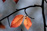 Leaves of copper beech