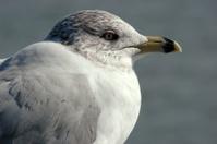Close up of a sea gull
