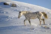 Leopard Appaloosa in the Snow