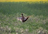 Pheasant cock displaying