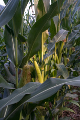 Sun Kissed Corn
