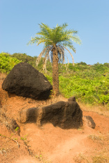 Palm tree and black stones in Goa
