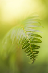 Isolated Green Fern