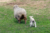Sheep and little lambs