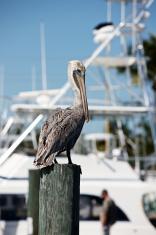 Brown Pelican profile