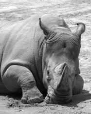Rhino at Baltimore Zoo