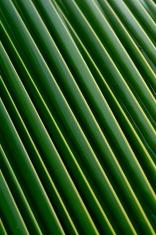 Detail of palm leaf