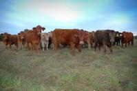 Cows staring at you