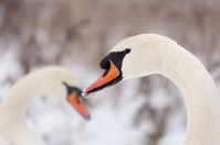 White swans against a snowy background