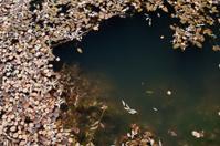 Oak Leaves on The Lake