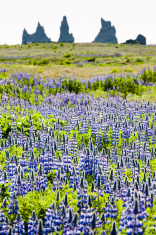 lupines field, iceland