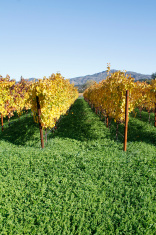 Colorful Vineyard in Napa
