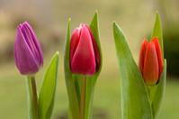 Three spring tulips
