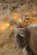 South African Nyala antelope