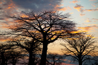 African landscape. Baobab tree silhouetted against the evening s