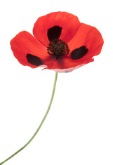 Ladybird Poppy (Papaver comutatum)