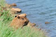Capibaras at Pampulha lake