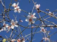 Almond flowers - symbol of winter in Israel