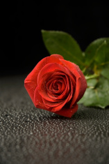 Wet Rose 005