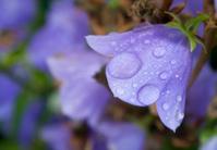 purple flower with rain drops