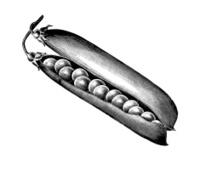 Pea Pod Seeds Illustration   Vintage Farmer Garden Vegetable Cli