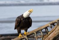 Bald Eagle Intense Stare - Alaska