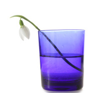 Snowdrop in blue vase