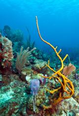 Row Pore Rope Sponge (Aplysina cauliformis)
