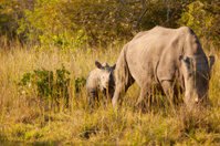Baby White Rhino and mother