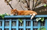 Tabby on blue fence