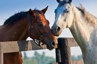 Two loving horses