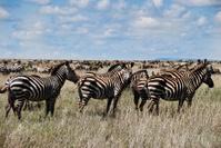 zebra migration serengeti Africa