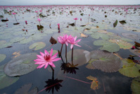 Pink waterlily field